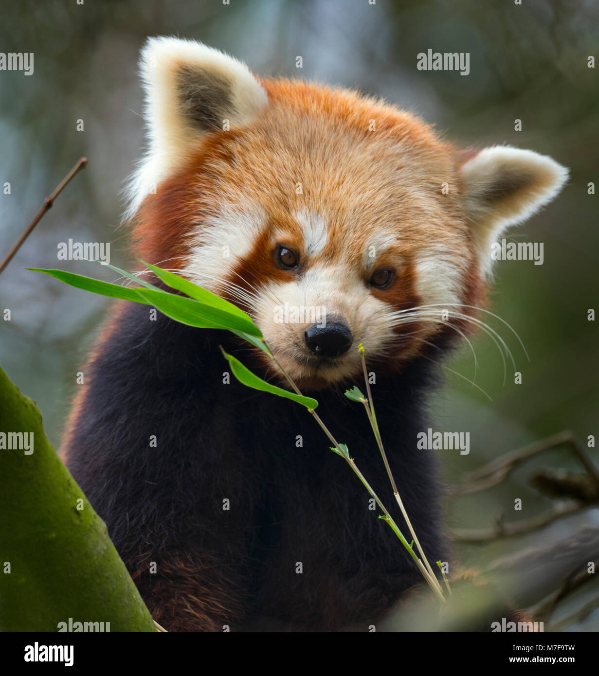 Petit panda Ailurus fulgens Photo Stock