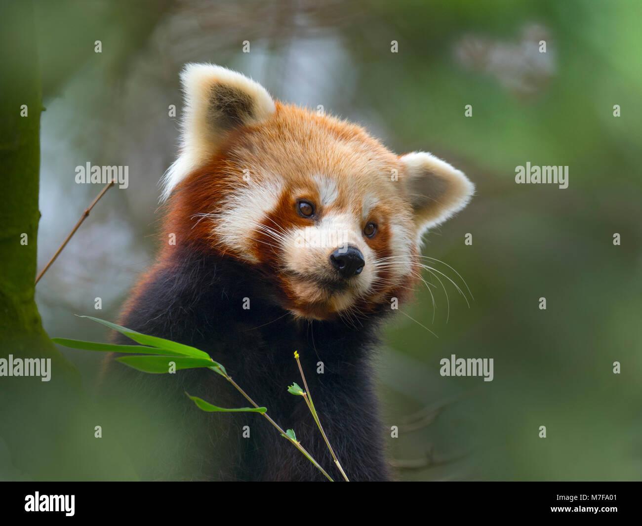 Petit panda Ailurus fulgens Photo Stock