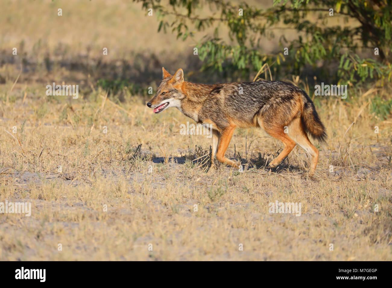 Des profils Golden Jackal (Canis aureus) probablement de la sous-espèce c.a.aureus (Common jackal) dans la région de Kutch, Gujarat, Inde Banque D'Images