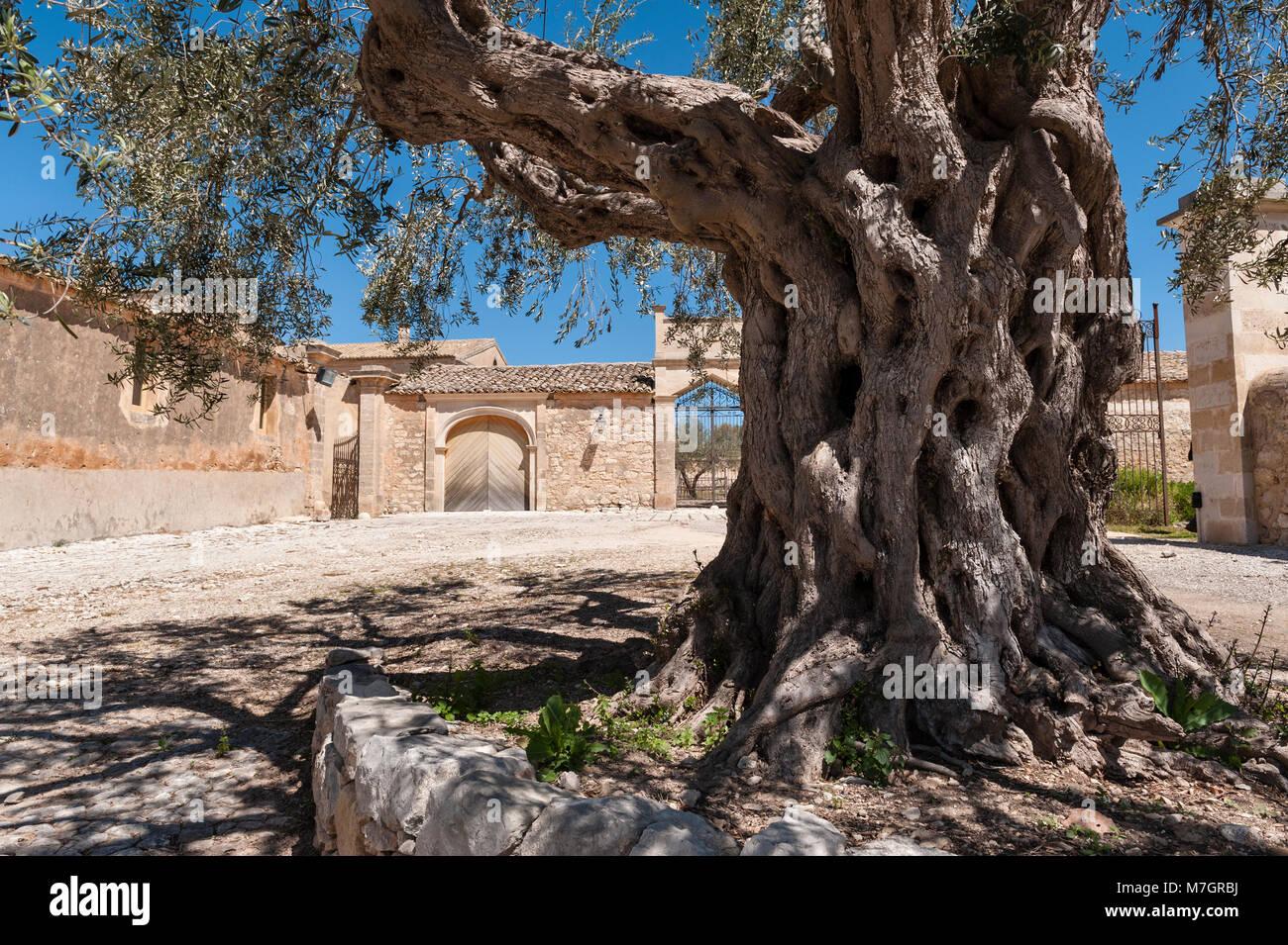 Chiaramonte Gulfi, Sicile, Italie. Un vieil olivier dans la cour de la Villa Fegotto (utilisé comme un emplacement Photo Stock