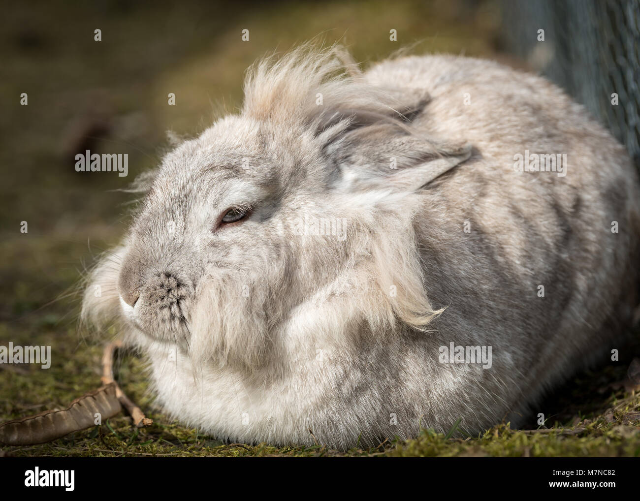 Un lapin nain blanc (lions head) prendre du repos Banque D'Images