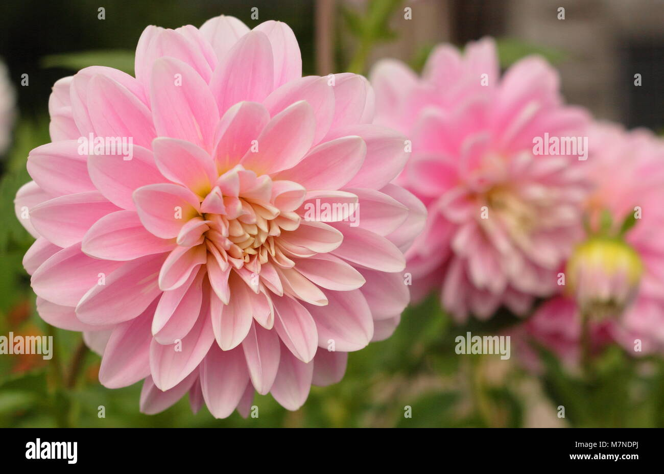 water lily dahlia photos water lily dahlia images alamy. Black Bedroom Furniture Sets. Home Design Ideas