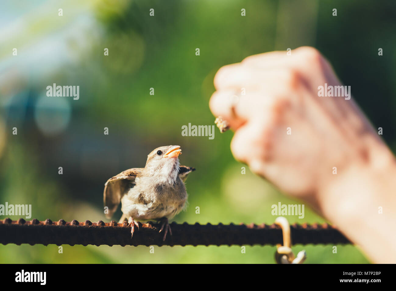 L'alimentation des jeunes Chick, Bird House Sparrow Passer domesticus à bec jaune Banque D'Images