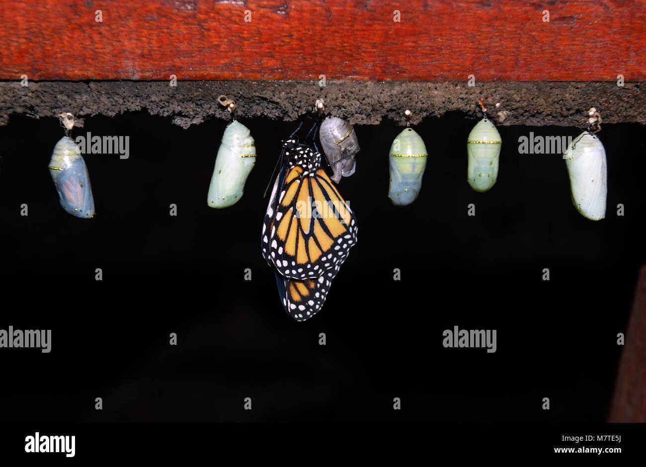 Papillon monarque, Danaus plexippus, émergeant de chrysalide, ferme aux papillons, jardins de la cascade La Paz, Banque D'Images