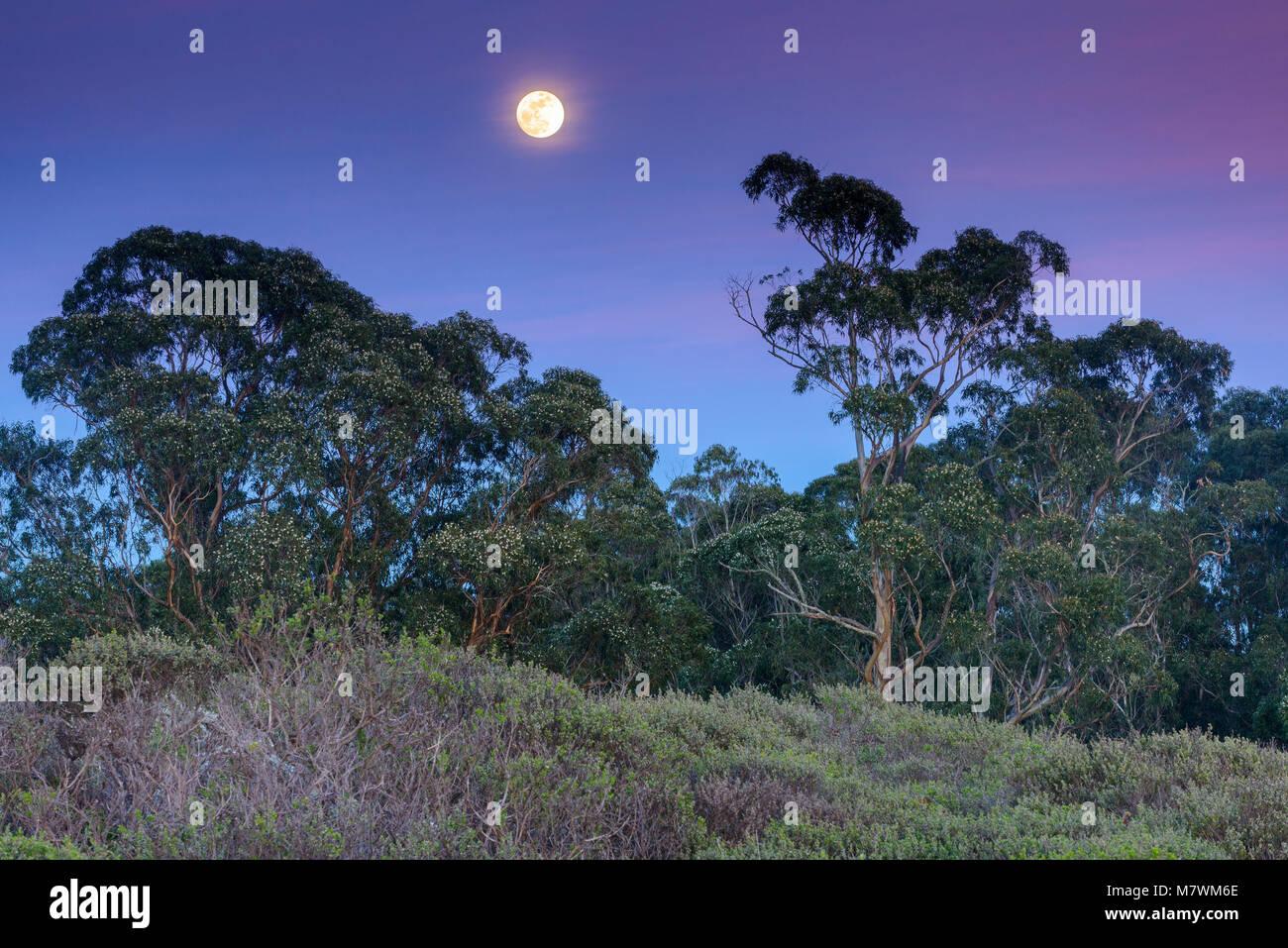 Moonrise, Eucalyptus, Dias Ridge, le Mont Tamalpais State Park, comté de Marin, en Californie Photo Stock