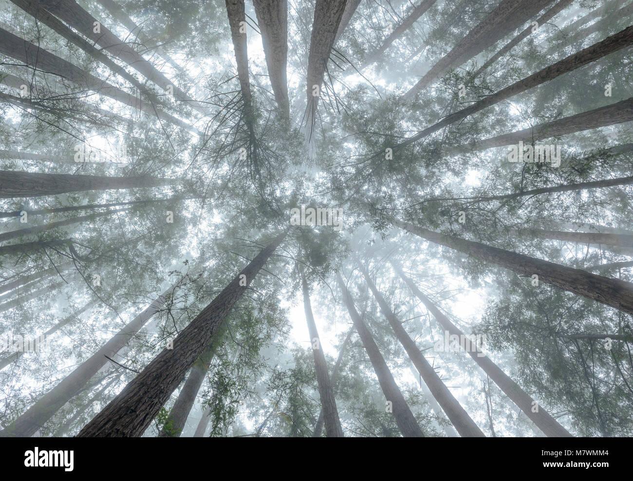 Cathedral Grove, le Mont Tamalpais State Park, comté de Marin, en Californie Photo Stock