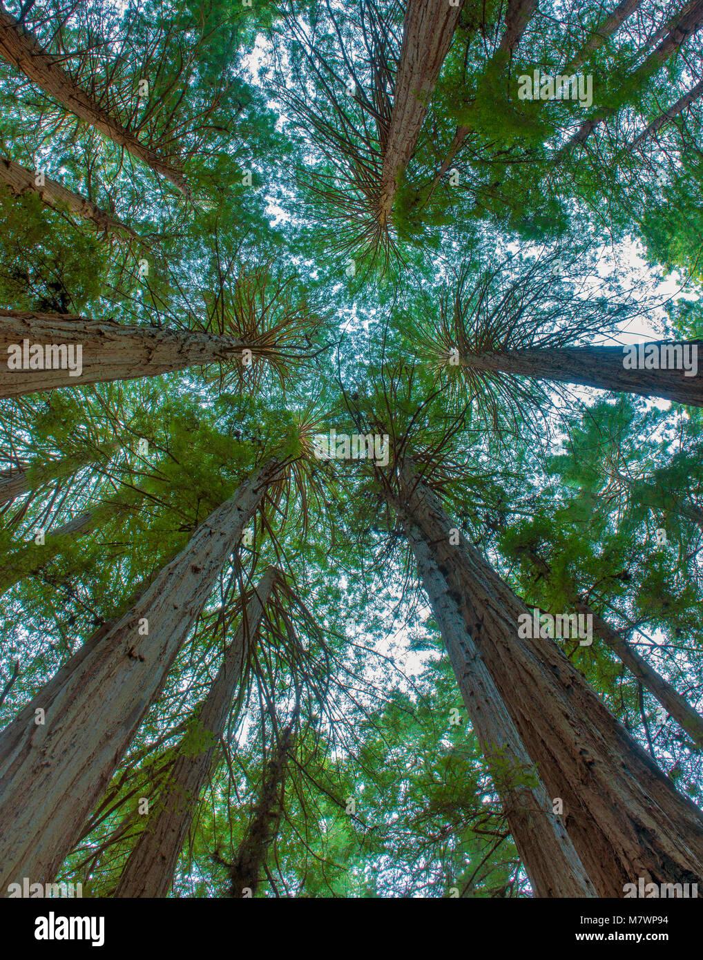 Anneau de cathédrale, séquoias, Sequoia sempervirens, Muir Woods National Monument, le comté de Marin, Photo Stock