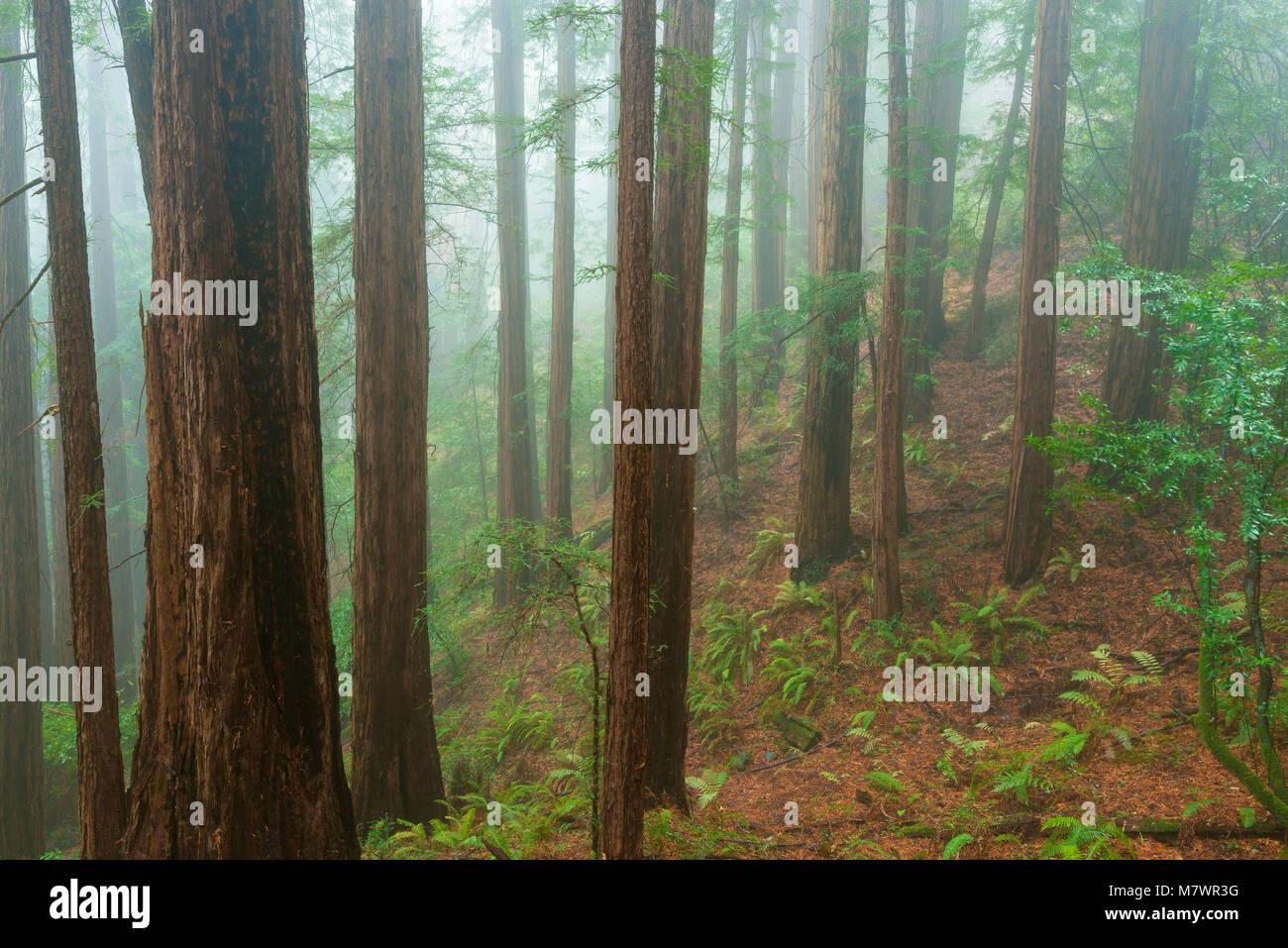 Brouillard côtier, séquoias, Sequoia sempervirens, Muir Woods National Monument, le comté de Marin, Photo Stock
