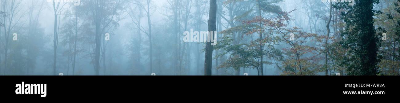 Un matin d'automne brumeux dans Everlanes Woods, près de Milborne Port, Somerset, England, UK Banque D'Images