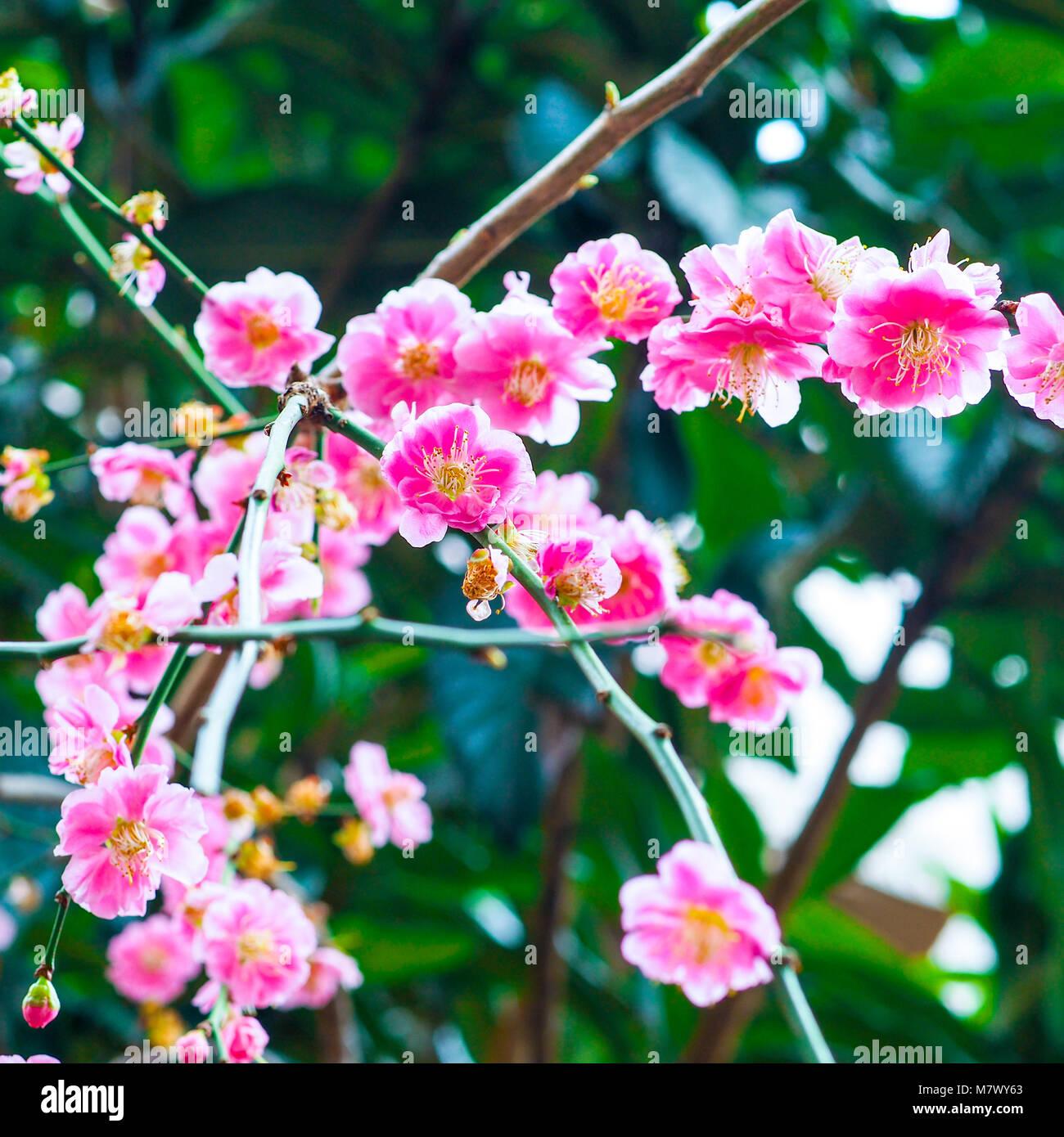 Des Fleurs Rose Vif Anime Au Japon Libre De Branches Chargees De