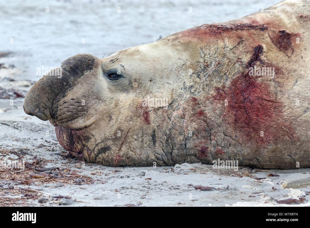 Éléphant de mer du Sud Photo Stock