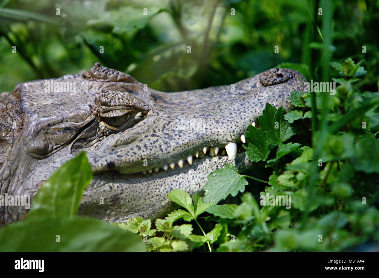 Tête de crocodile sauvage avec feuillage vert à griffes Photo Stock