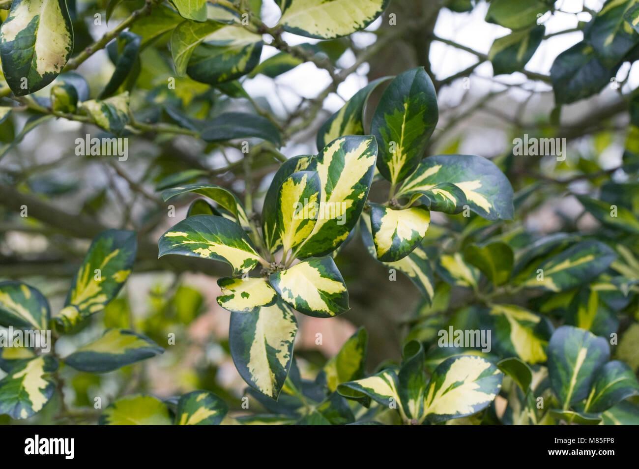 Ilex x altaclerensis 'Ripley Gold'. Photo Stock