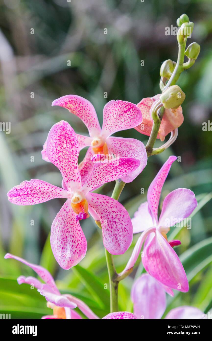 Orchidée fleur dans le jardin d\'orchidées à l\'hiver ou le printemps ...