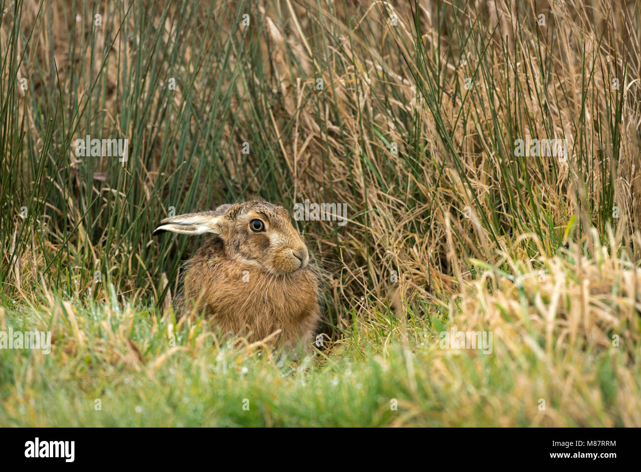 European brown hare, Lepus europaeus, début mars sur les pâturages de Suffolk Photo Stock