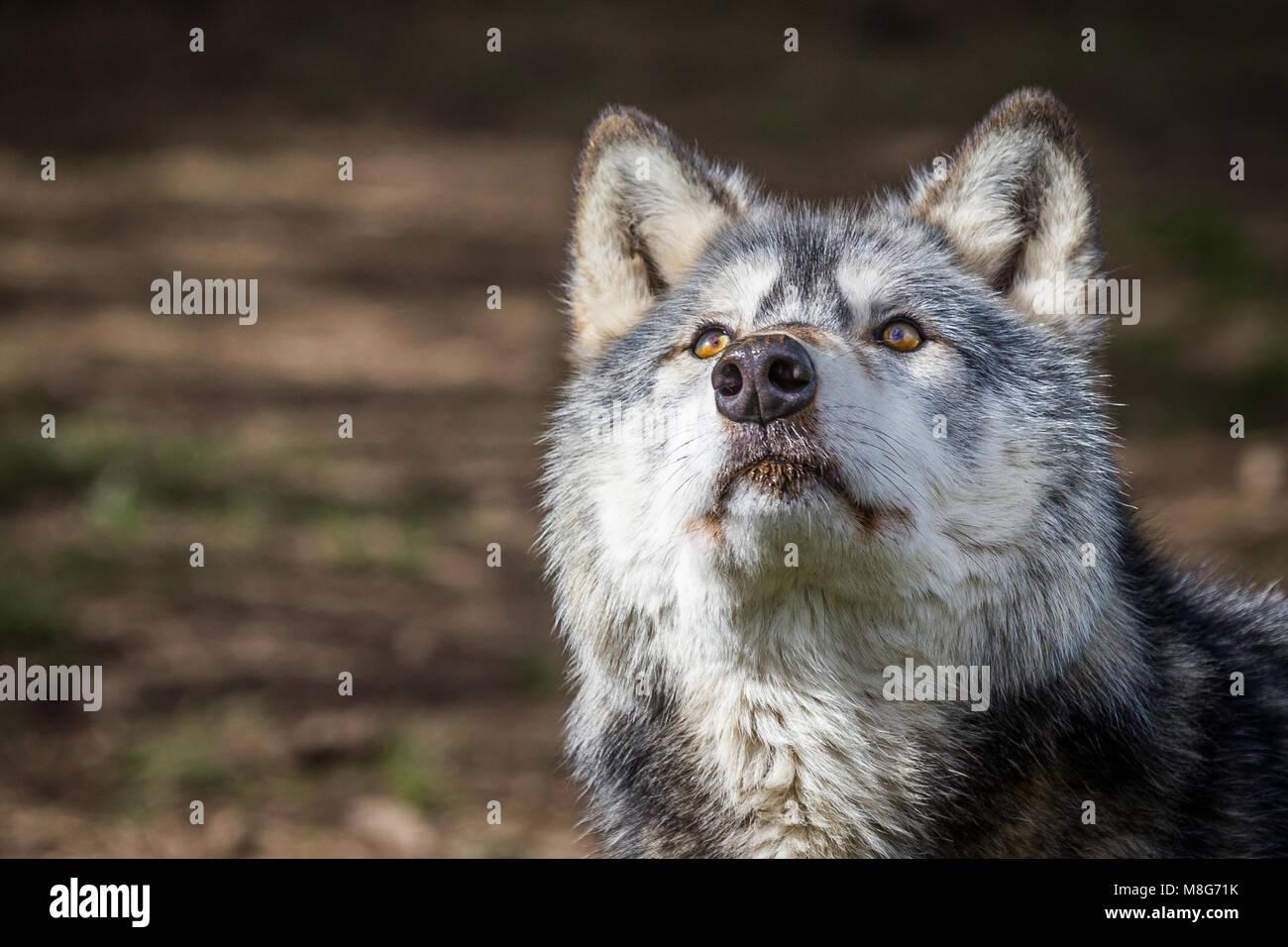 Wolf, représenté à la U Conservation Society, les loups ont lieu dans de grands espaces et de bien Photo Stock
