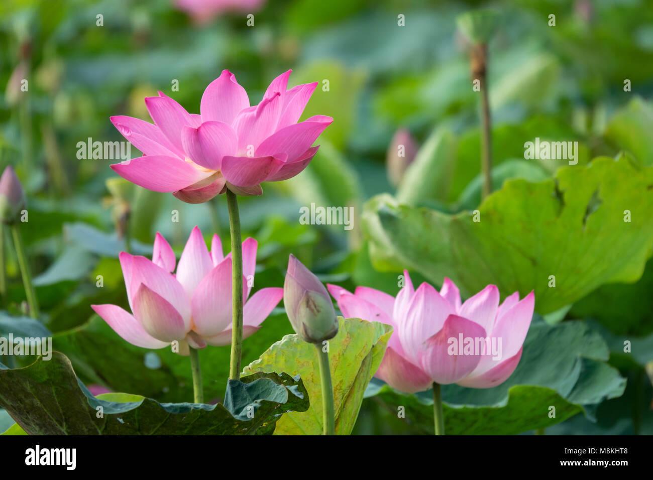fleur de lotus rose image libre de haute qualit les. Black Bedroom Furniture Sets. Home Design Ideas
