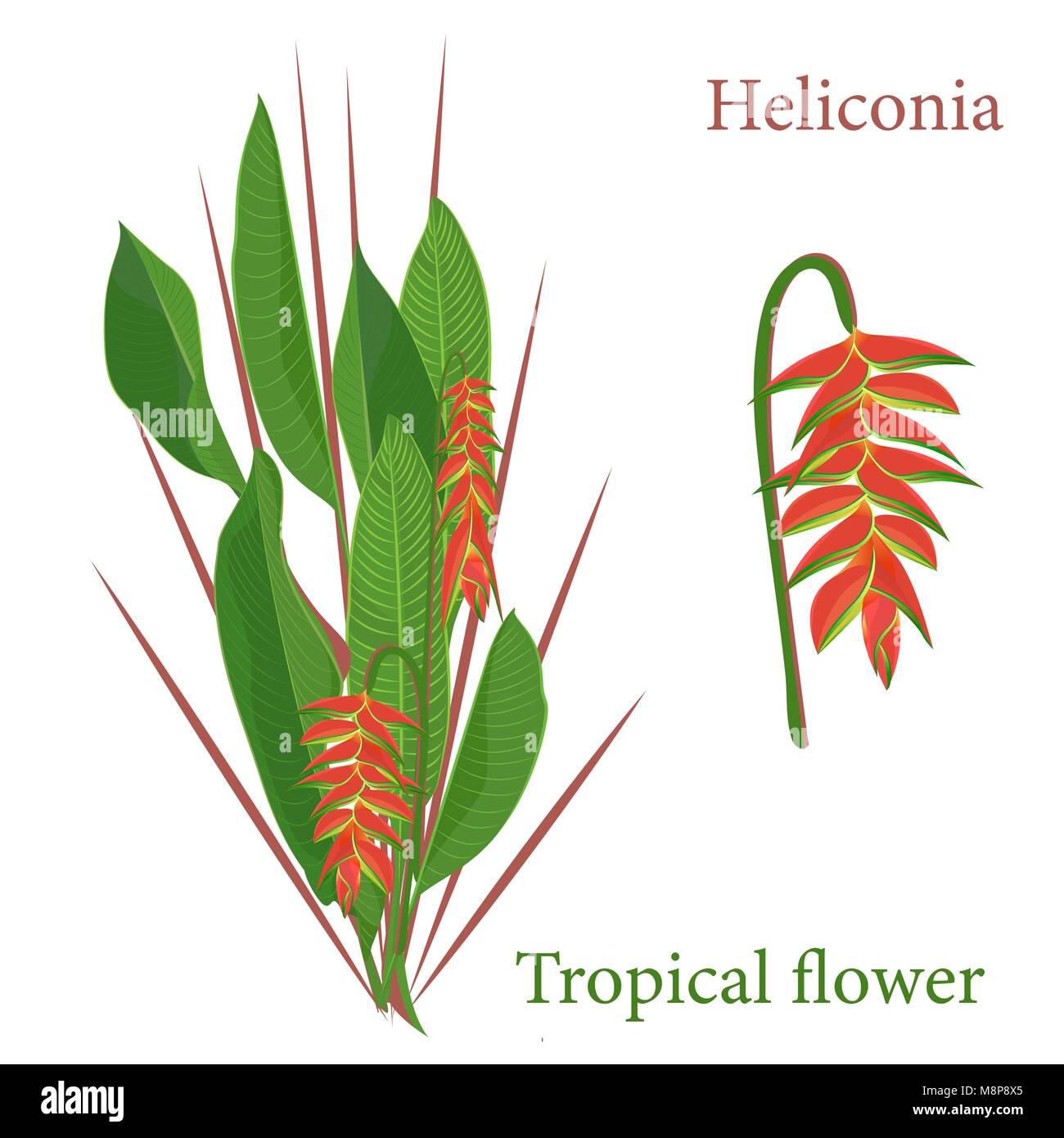 Tropical Flower Quitte La Direction Generale Heliconia Aquarelle