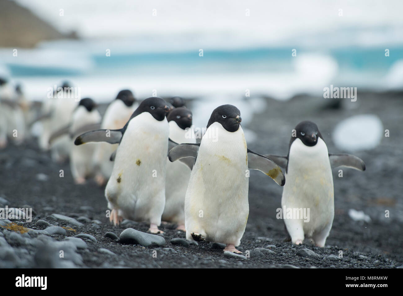 Groupes de manchots adélies promenade le long du rivage à Brown Bluff, l'Antarctique. Photo Stock