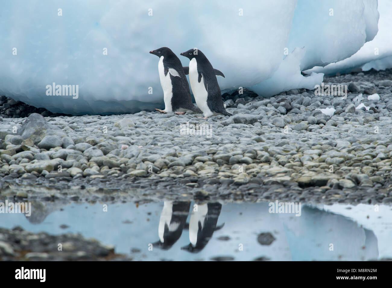 Deux manchots adélies promenades le long du littoral d'un reflet dans l'eau à Brown Bluff, l'Antarctique. Photo Stock