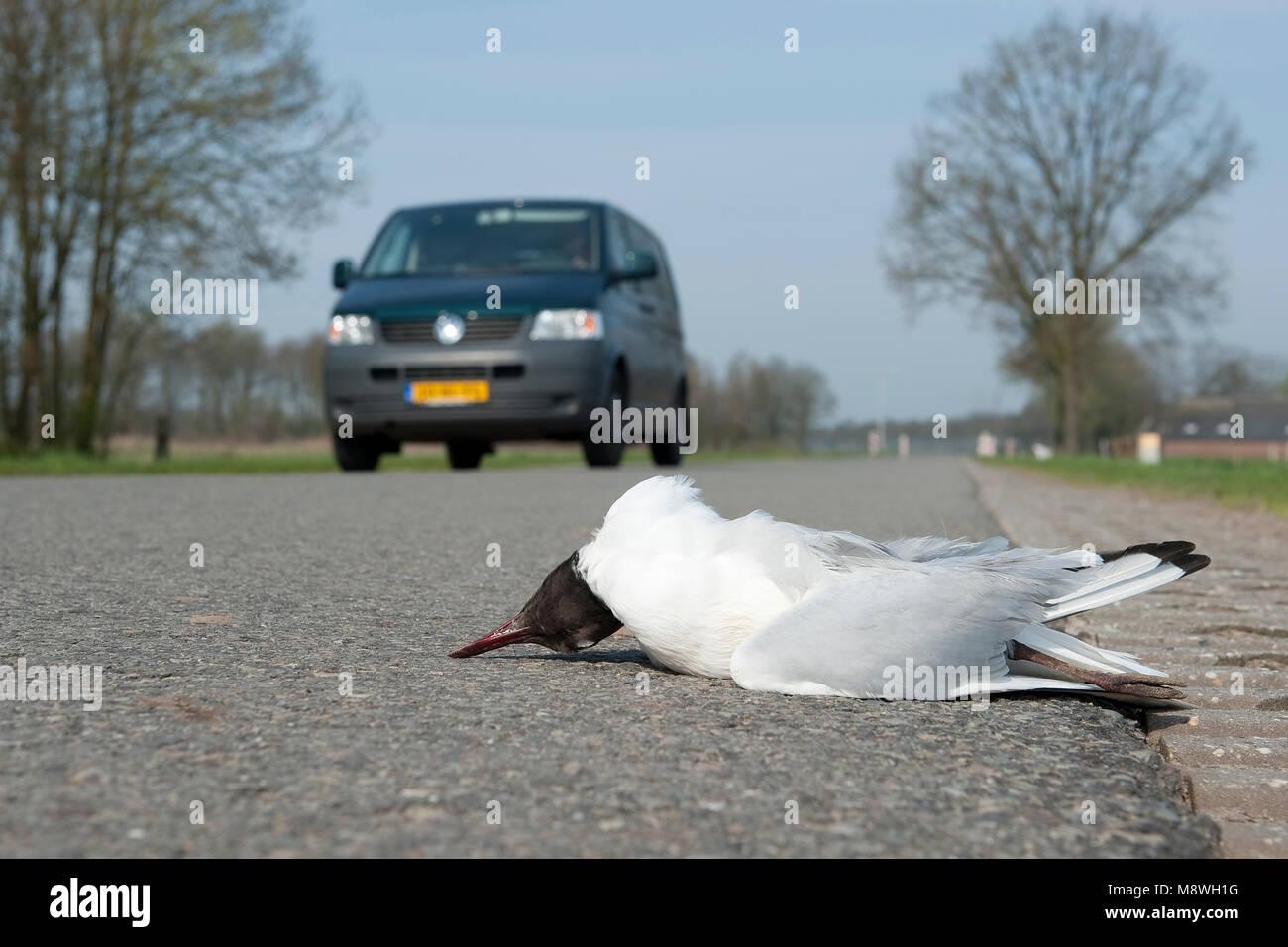 Aangereden passerende kokmeeuw rencontré auto op de achtergrond; commun Mouette a frappé en voiture Photo Stock