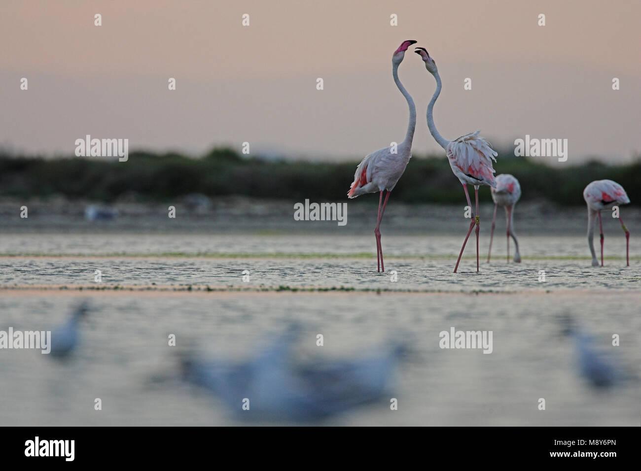 Dans l'eau; ondiep flamingo flamant rose dans l'eau peu profonde Photo Stock