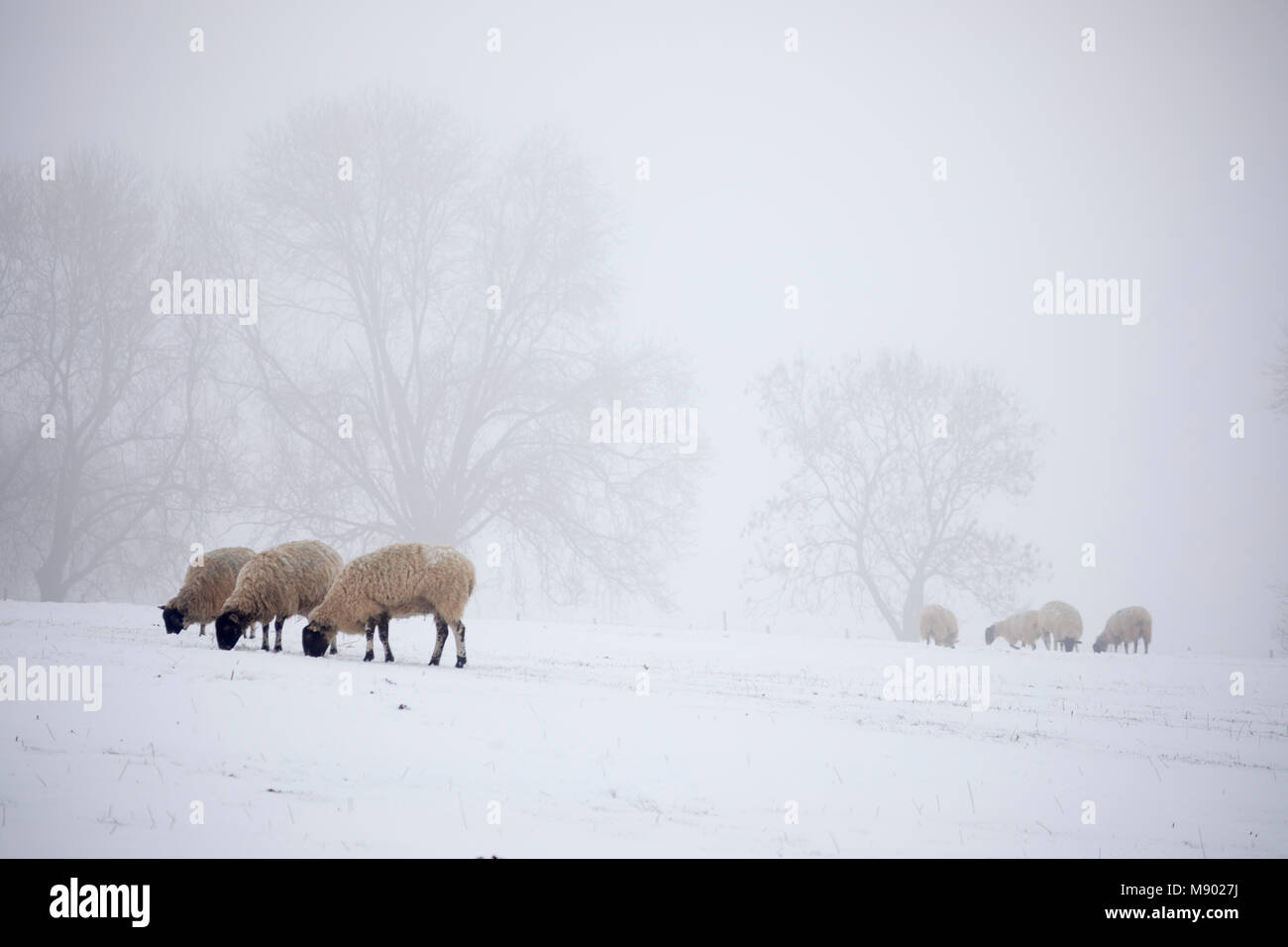 Moutons blancs en neige et brouillard, Chipping Campden, les Cotswolds, Gloucestershire, Angleterre, Royaume-Uni, Photo Stock