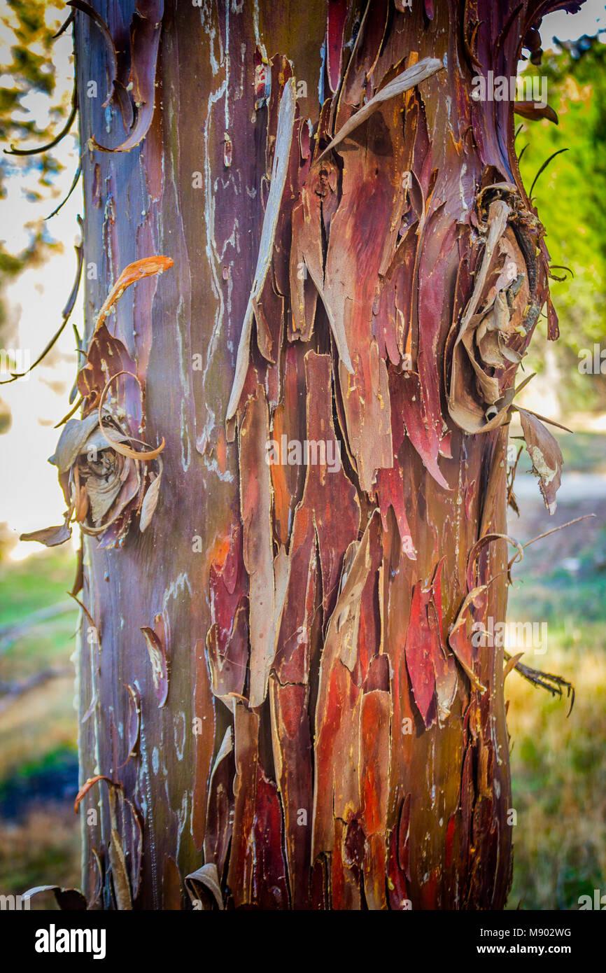 Peeling écorce du tronc de sycomore. Photo Stock