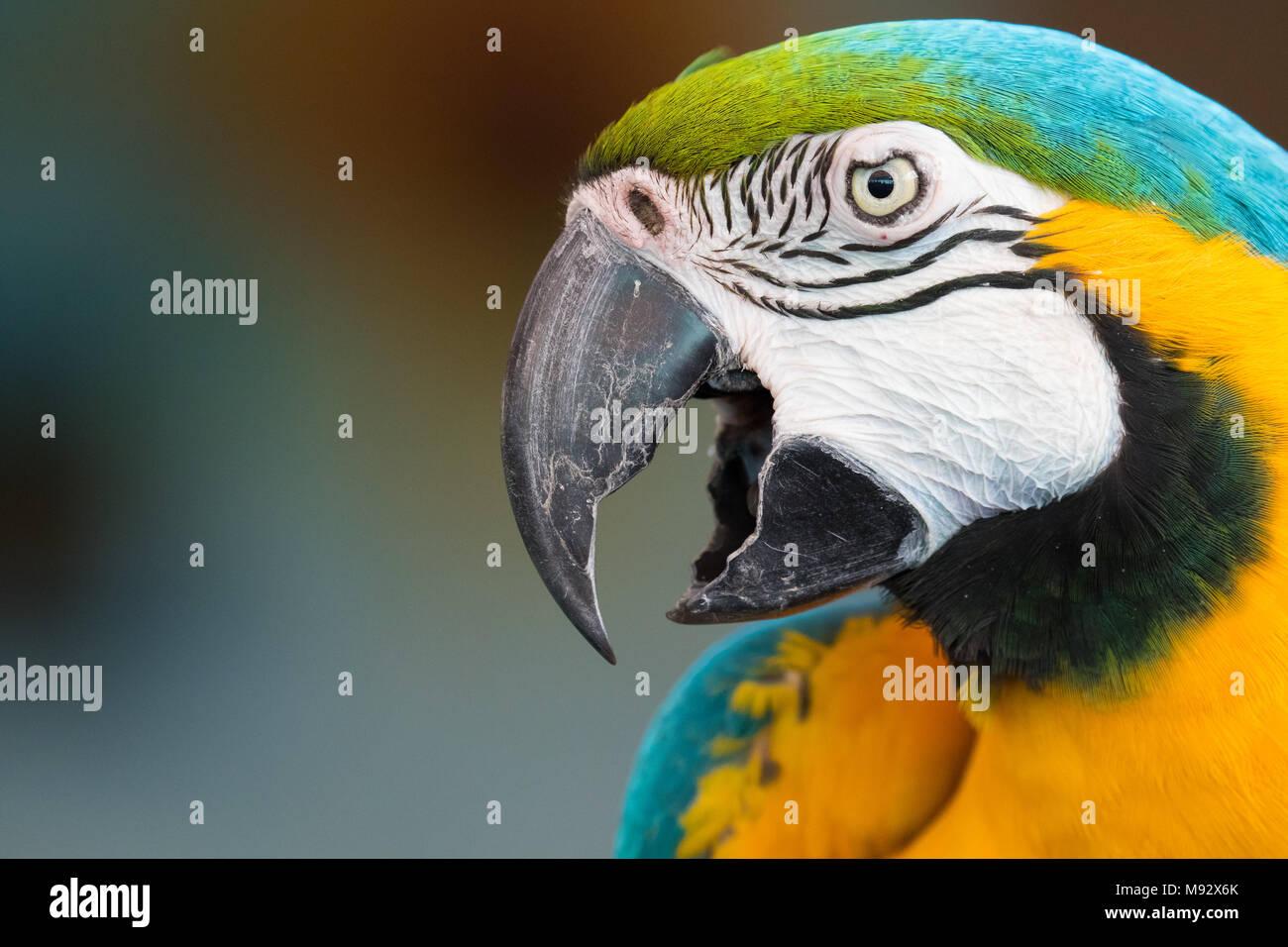 Head shot d'un ara Photo Stock
