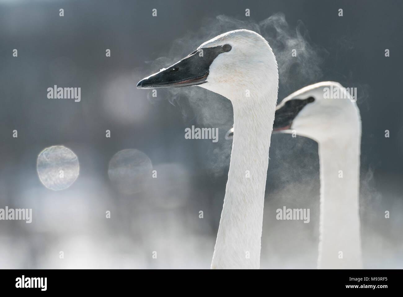 Le Cygne, souffle, montrant (Cygnus buccinator), Hudson, WI, fin janvier, par Dominique Braud/Dembinsky Assoc Photo Photo Stock