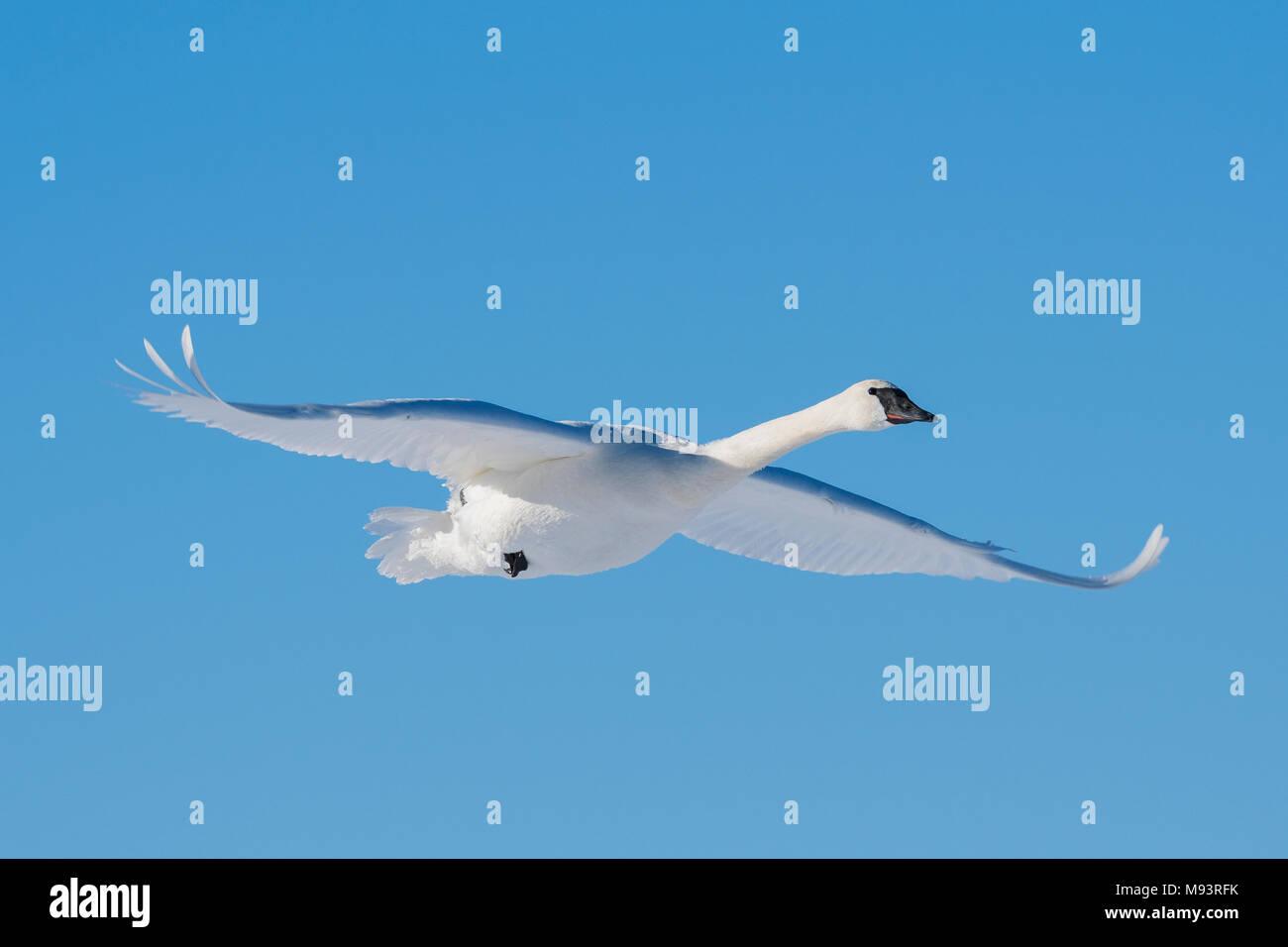 Cygne trompette (Cygnus buccinator) en vol, WI, États-Unis d'Amérique, début janvier, par Dominique Braud/Dembinsky Assoc Photo Photo Stock