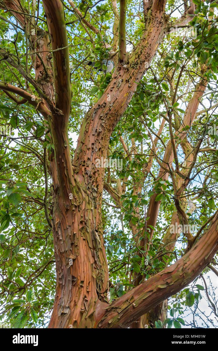 Paperbark Maple (Acer griseum) de l'arbre, un arbre à l'écorce rougeâtre peeling au printemps en pleine croissance au Royaume-Uni. Photo Stock