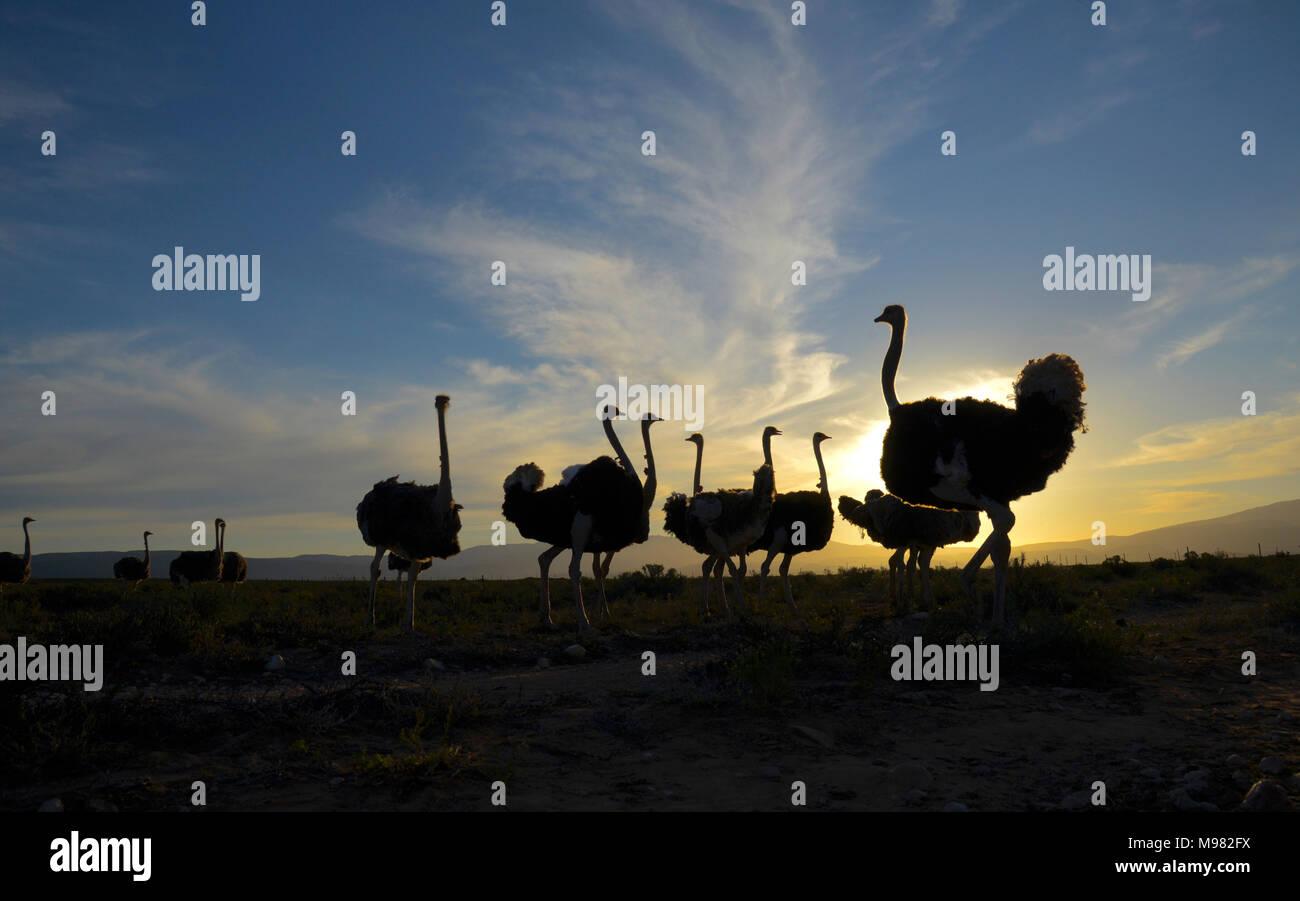 Karoo, Afrique du Sud. Struthio camelus autruche commune ou Banque D'Images