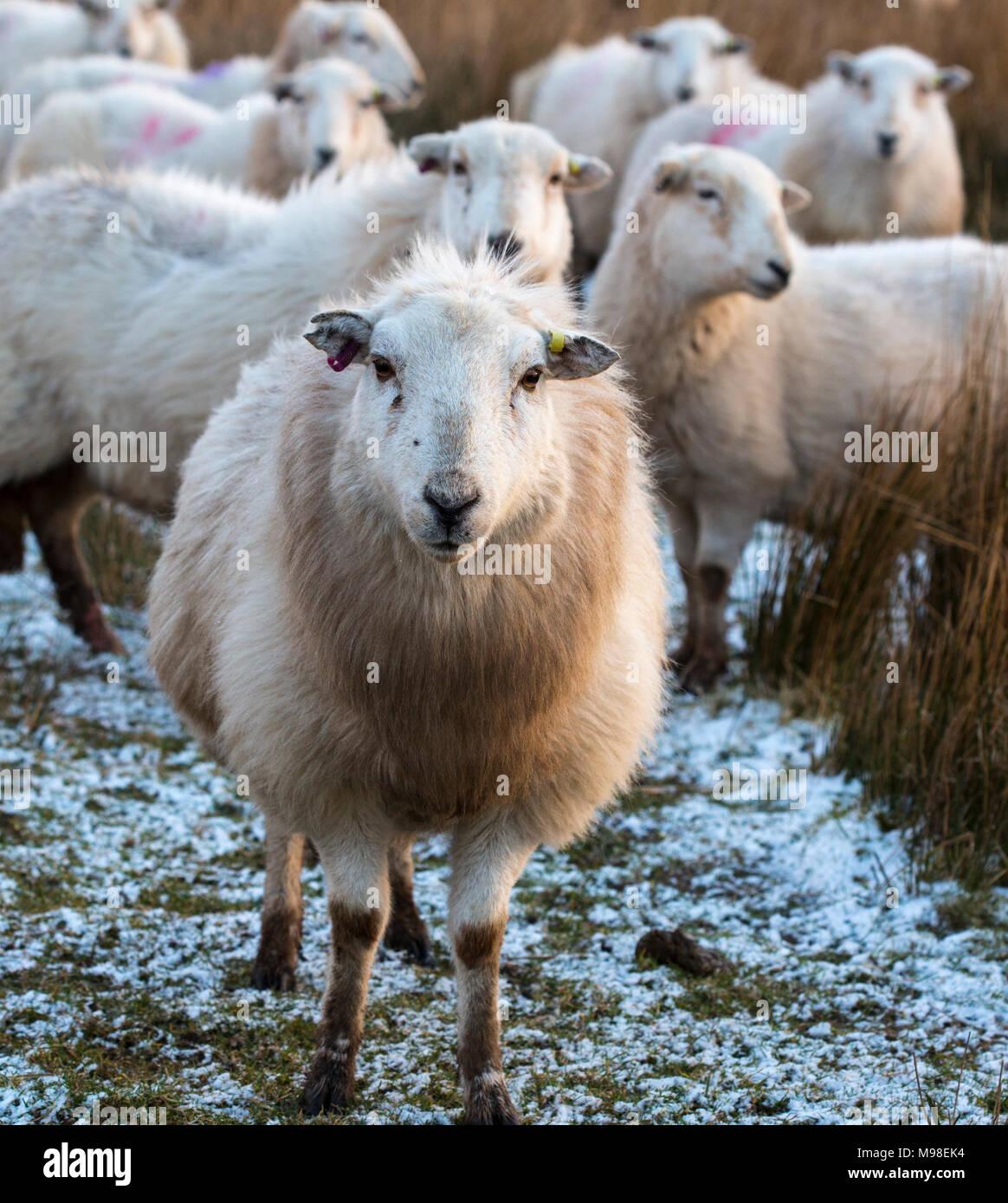 Moutons Herdwick à Noth Pays de Galles en hiver au coucher du soleil. Les moutons ont une teinte orange en raison d'un coucher de soleil. Les moutons sont dues à l'agneau bientôt. Photo Stock