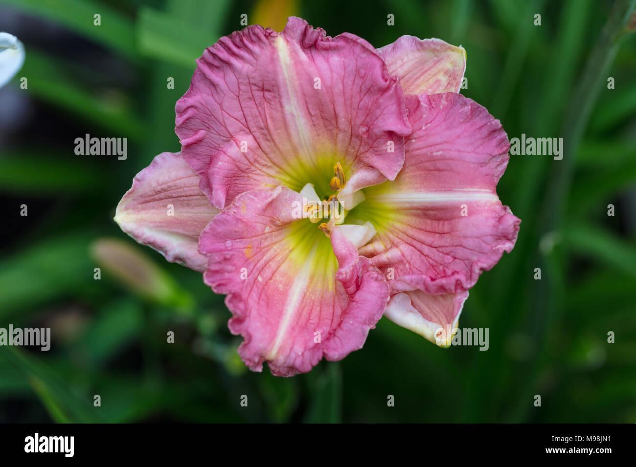 'Flirt' hémérocalle, Daglilja (Hemerocallis) Photo Stock