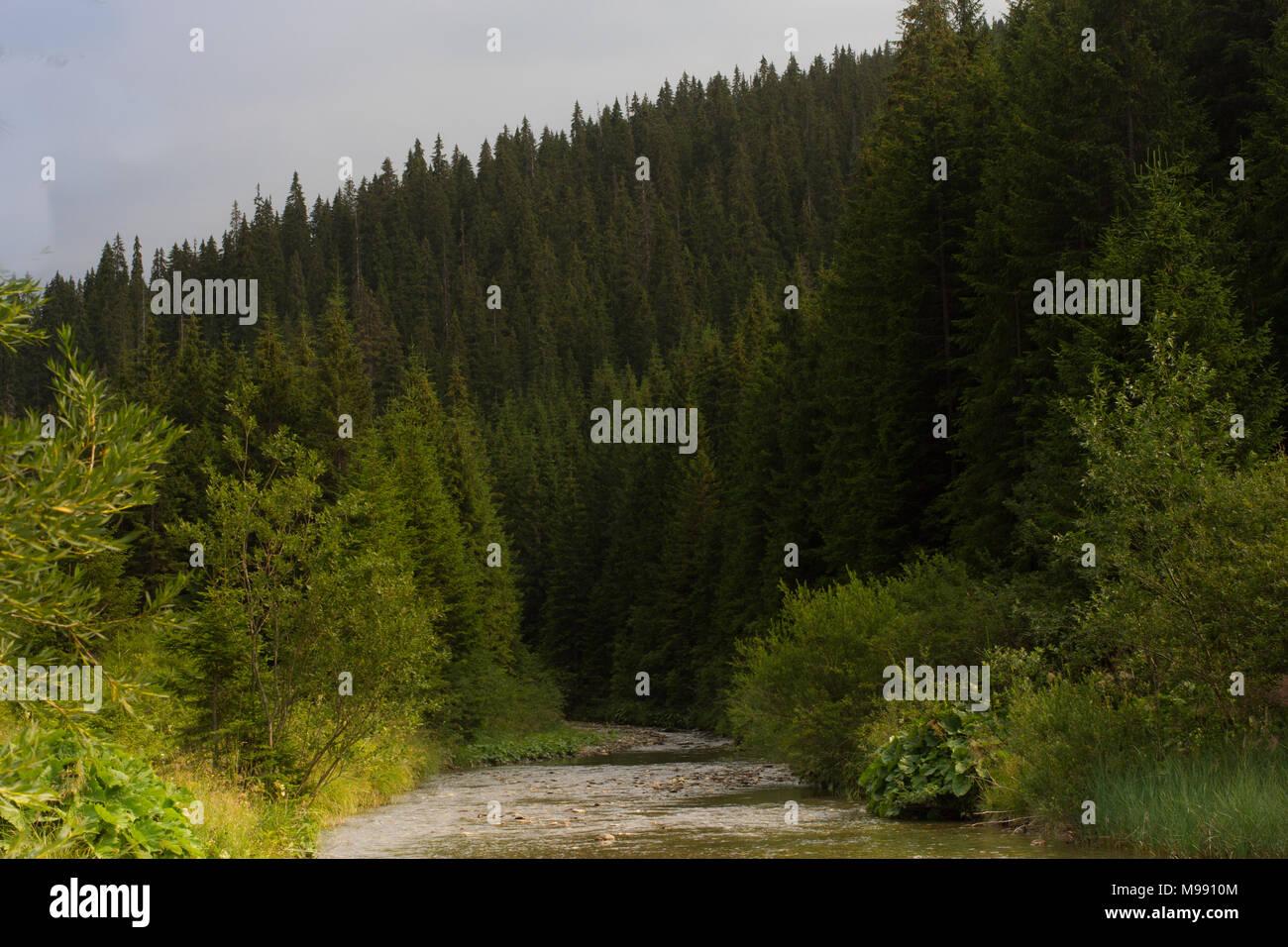 Forêt de sapins dans les Carpates ukrainiennes. Les écosystèmes durables Photo Stock