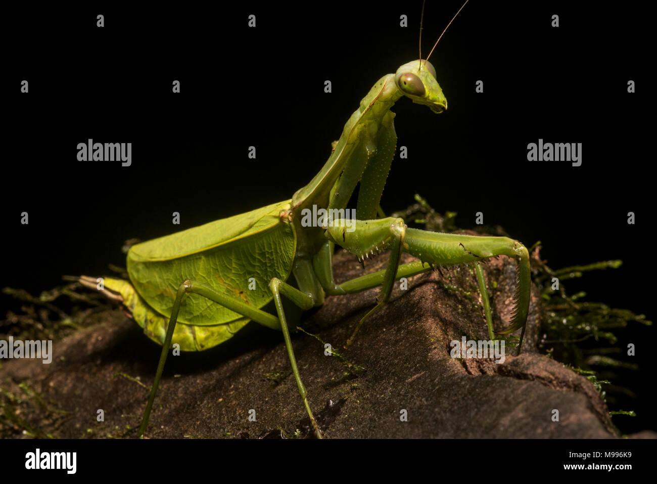 Une énorme femme leaf mantis, une espèce Pseudoxyops, du Pérou. Normalement, il est bien caché entre les feuilles mais il a rampé sur un rocher. Photo Stock