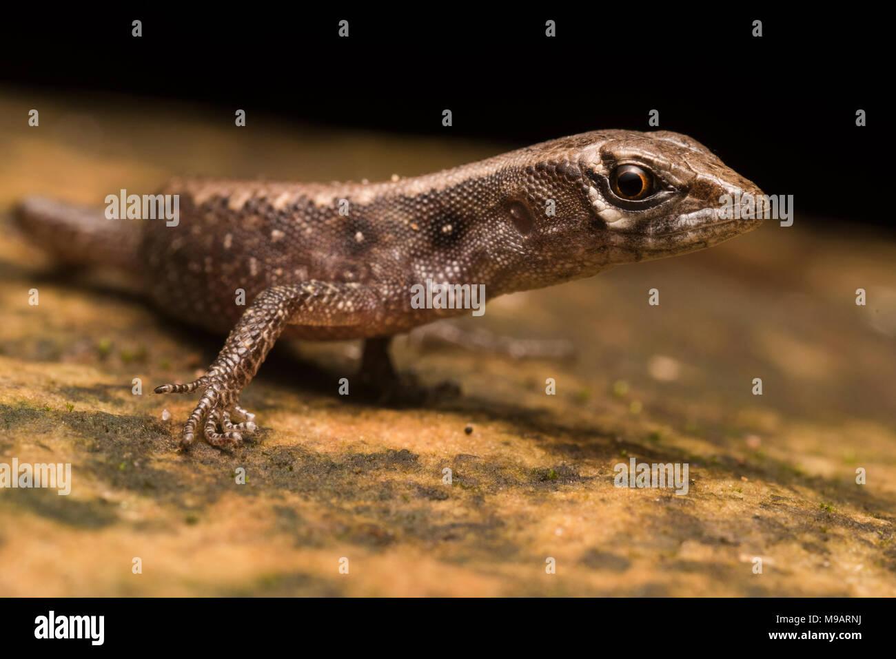 Grande échelle (Potamites neusticurus strangulatus) du Pérou, ce lézard aquatique semi est secret et rarement vu. Celui-ci est un mineur. Banque D'Images
