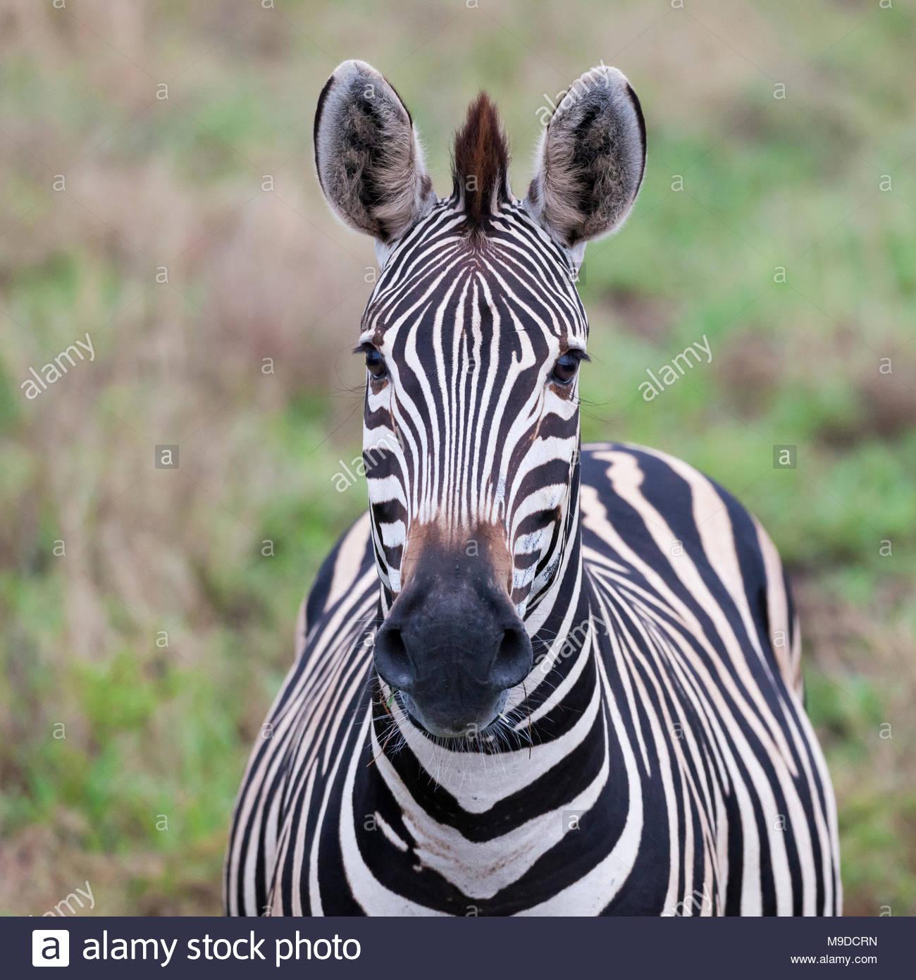 Zèbre des plaines, Equus quagga, face caméra, dans Kruger NP, Afrique du Sud Photo Stock