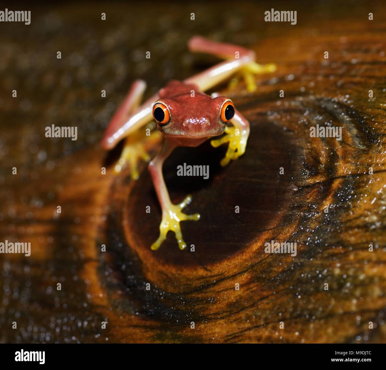Aux yeux rouges de parachutisme, Agalychnis saltator, juvénile, Tortuguero, Costa Rica Photo Stock