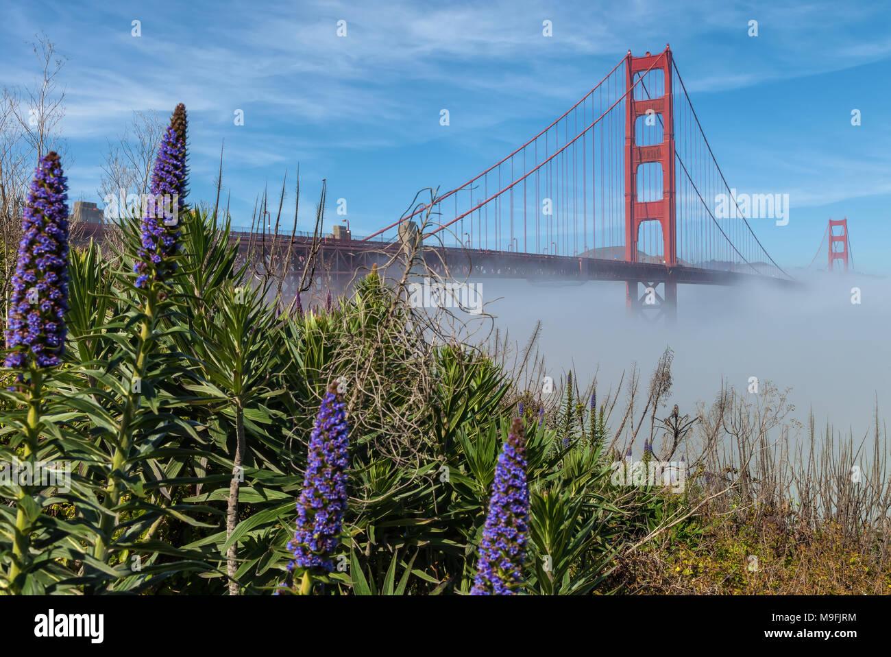 L'emblématique pont du Golden Gate, à faible brouillard sous le pont et de fierté en fleurs fleurs de Madère, San Francisco, California, United States. Photo Stock