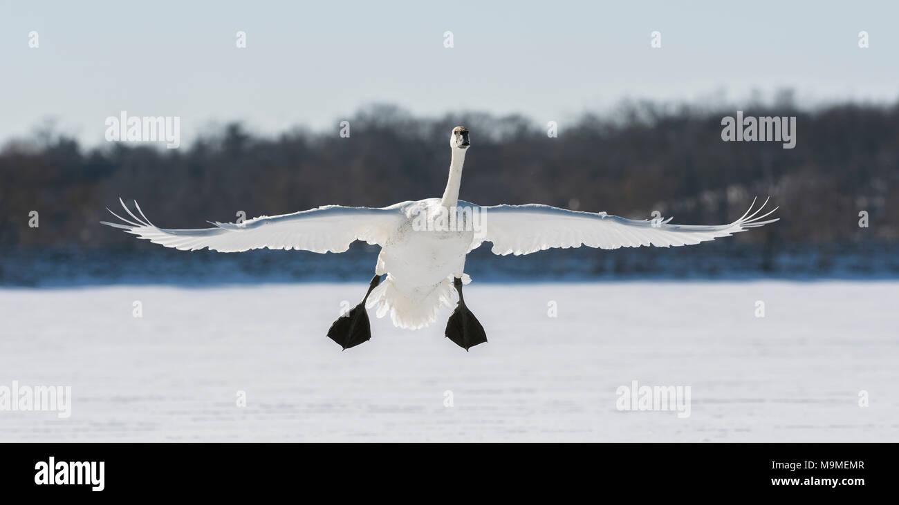 Un cygne trompette (Cygnus buccinator) débarquement sur la rivière Sainte-Croix, Hudson, WI, États-Unis d'Amérique, début janvier, par Dominique Braud/Dembinsky Assoc Photo Photo Stock