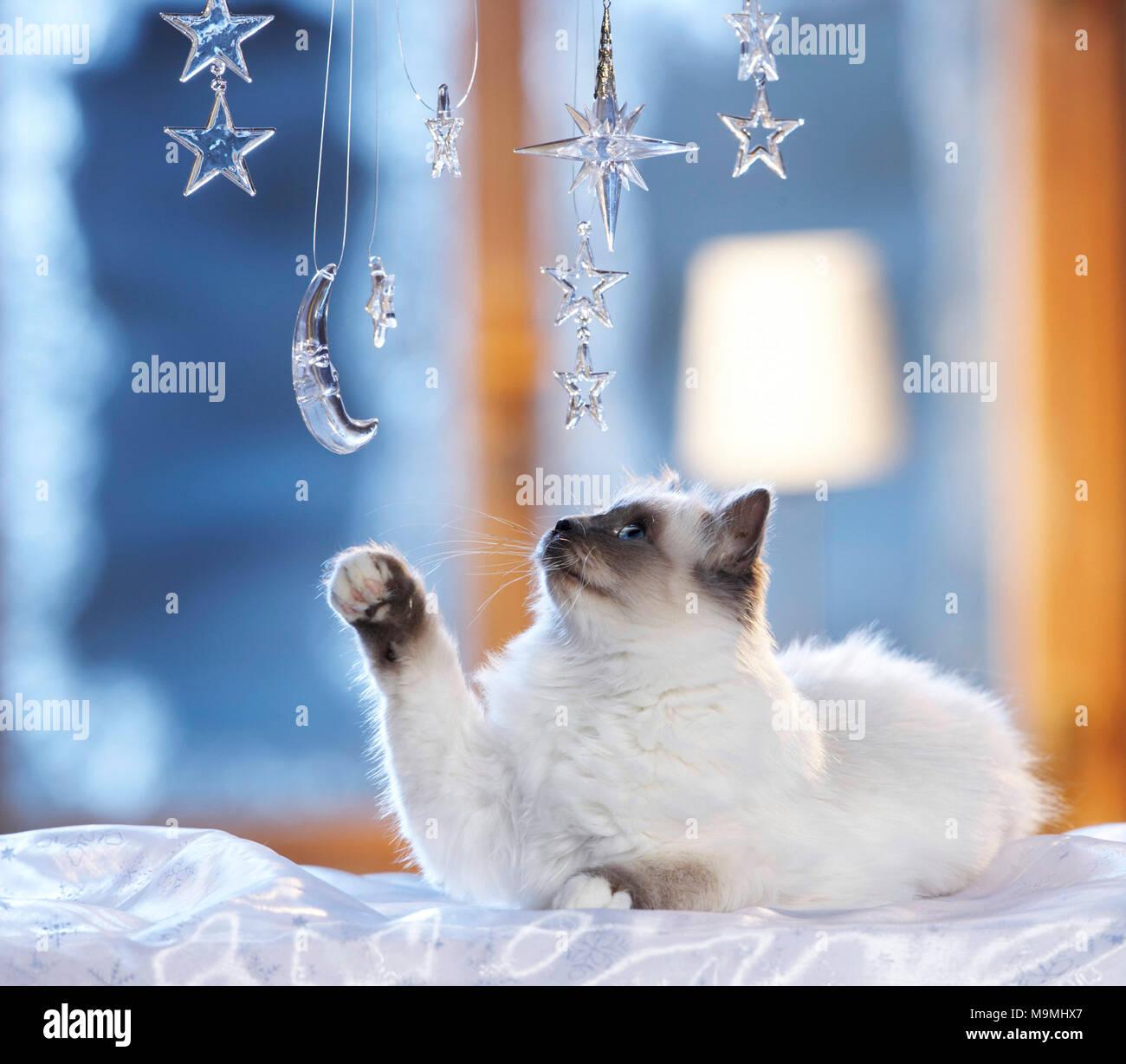 Noël: chat sacré de Birmanie à jouer avec la lune et les étoiles en verre fenêtre décorée dans une ambiance festive. Allemagne Photo Stock