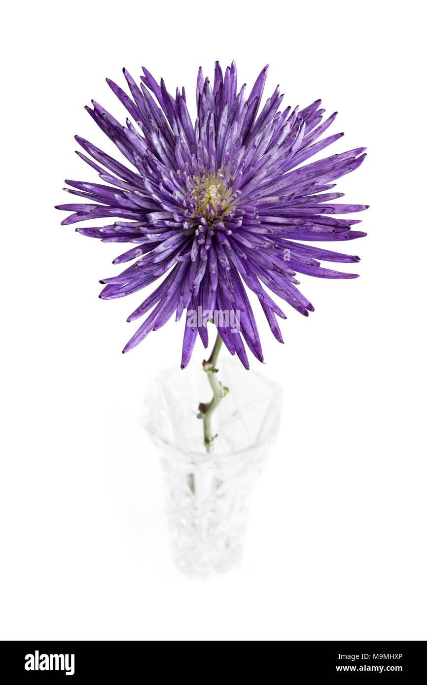 Callistephus chinensis 'Starlight' dans un vase bleu sur fond blanc. Banque D'Images
