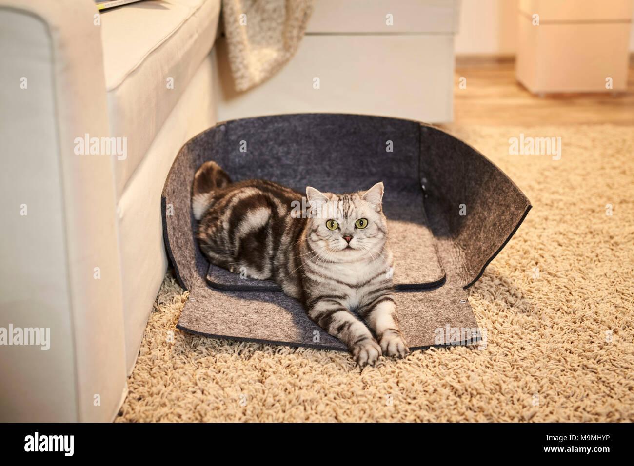 British Shorthair chat. Couché dans une adultes Tabby ouvert animal lit fait de feutre. Allemagne Photo Stock
