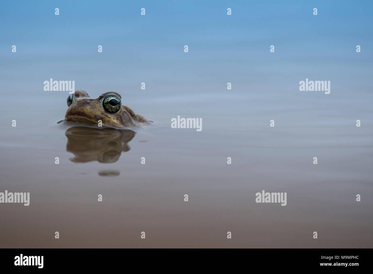 Rivière commune (grenouille) quecketti Amieta, Mashatu, Tuli Block, Botswana Photo Stock