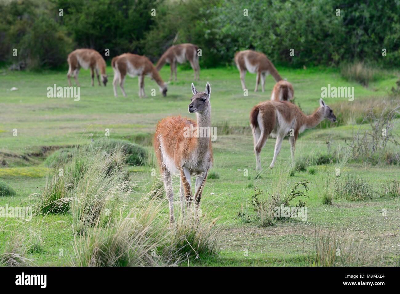 Troupeau de guanacos (Lama guanicoe), Valle Chacabuco, Región de Aysén, Chili Banque D'Images