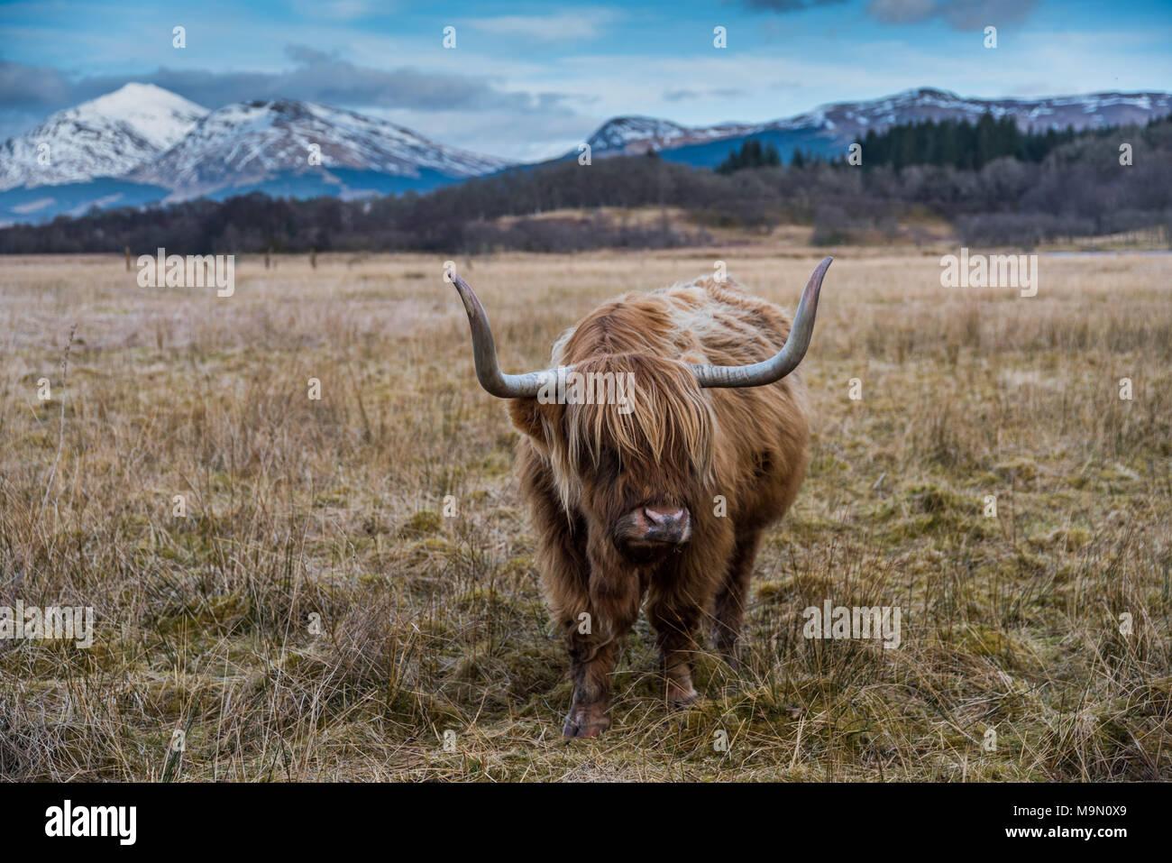 Vache Highland dans paysage de montagnes en Ecosse Photo Stock