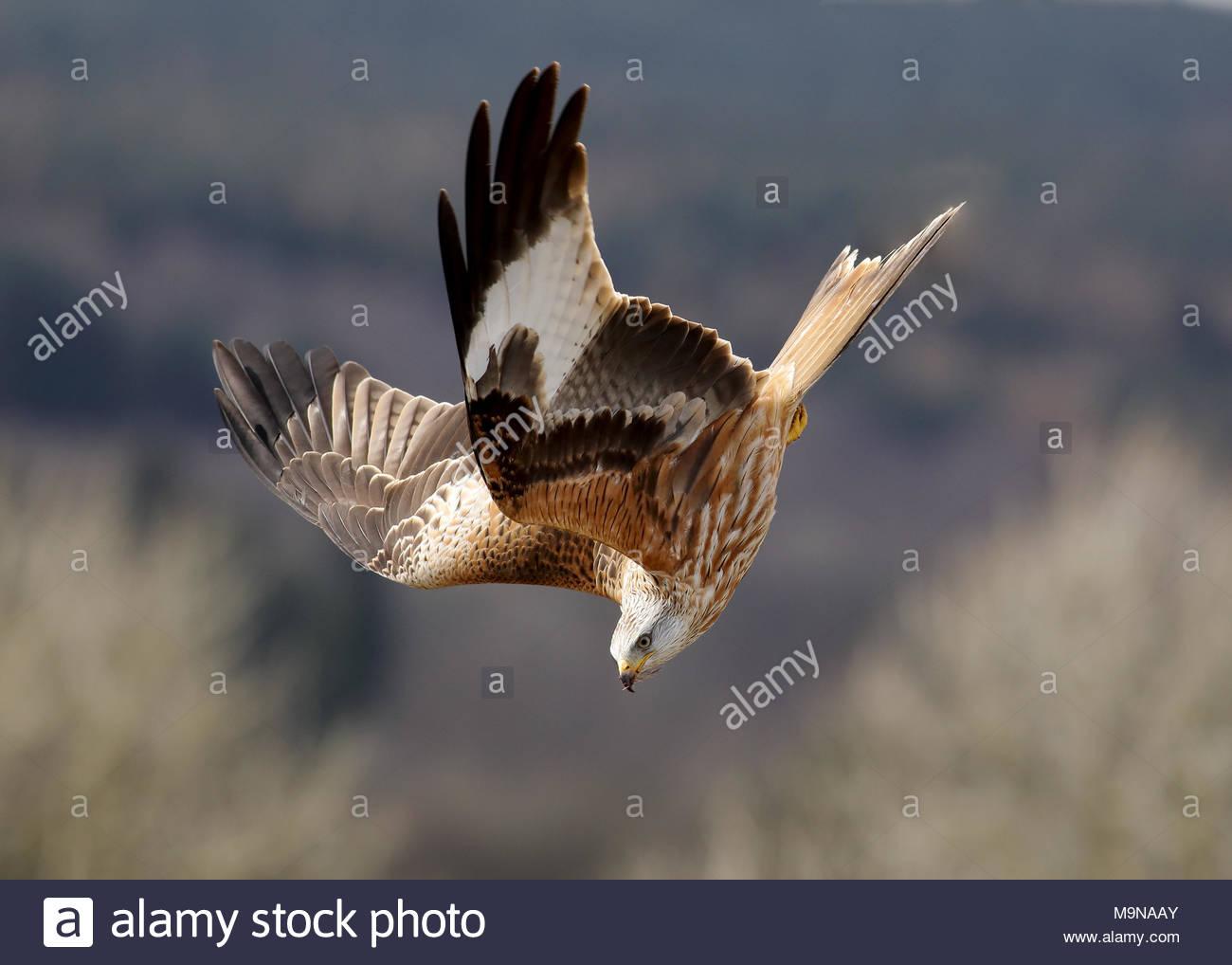 Un cerf-volant rouge en vol au-dessus les collines de Dumfriesshire, Ecosse. Banque D'Images