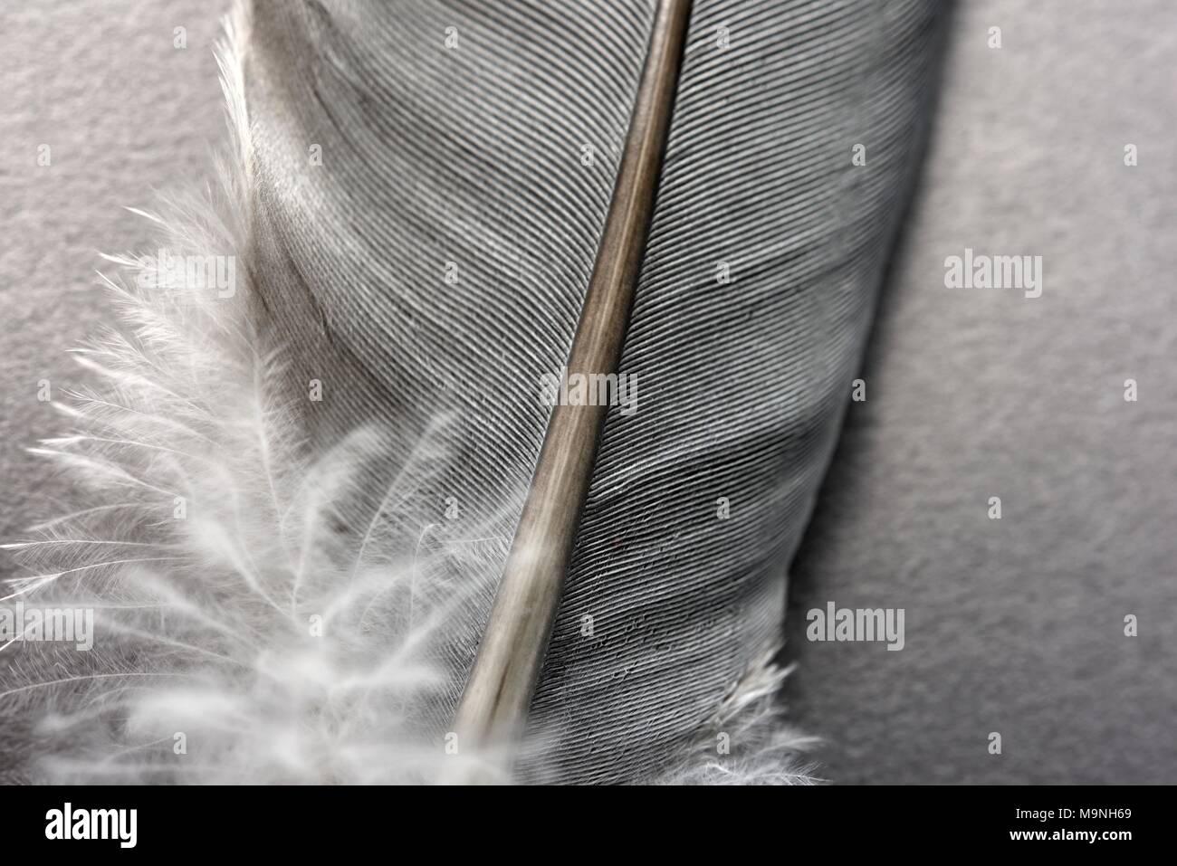 Plume d'oiseau close up mcro Photo Stock